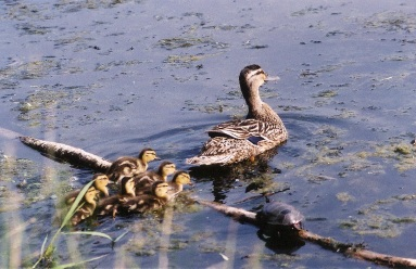 Ducks and turtle